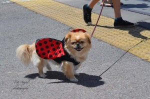 Lady Bug Dog on a street