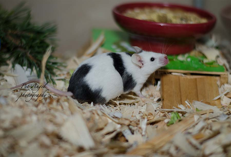 White and Black English Mouse Photograph