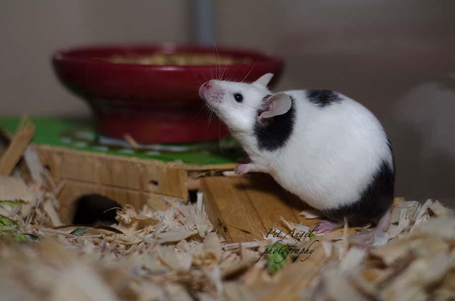 English Mouse potograph