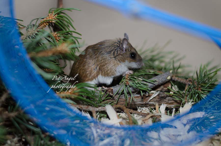 Deer pet mouse