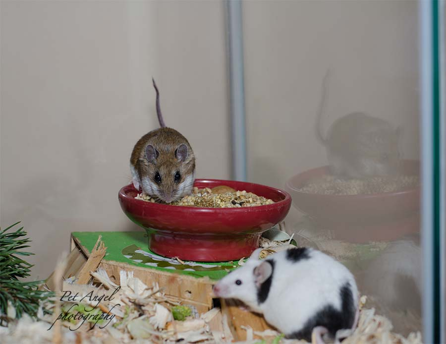 English white and black mouse and deer mouse