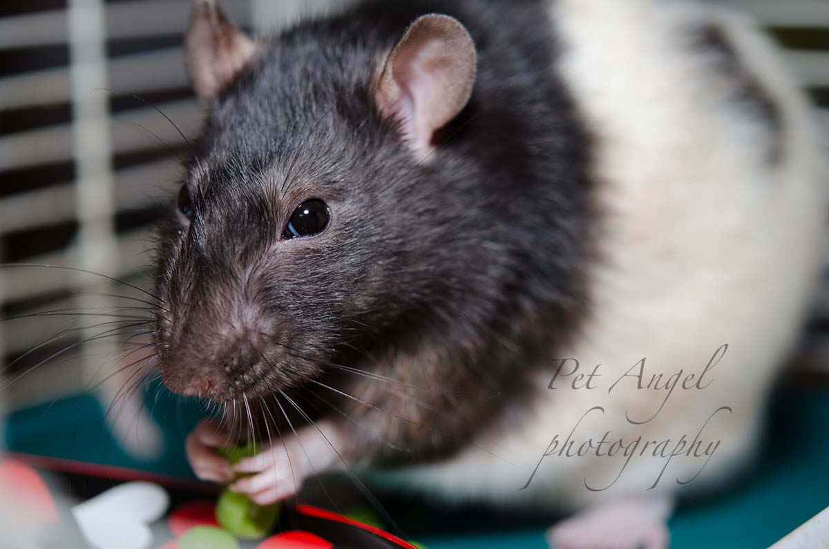 Pet Rat Photograph