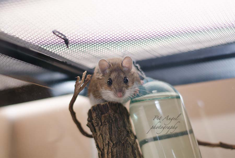 Deer Mice Pet photograph