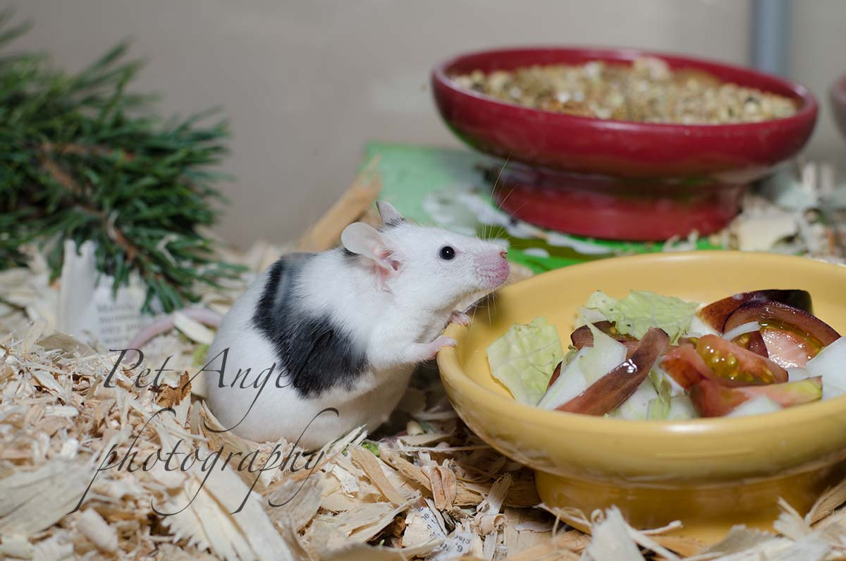 Black and White English mouse photograph by Pet Angel photography