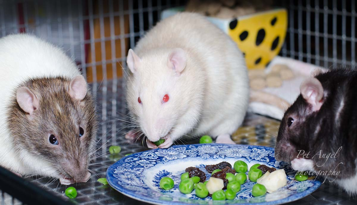 White Pet Rat photograph