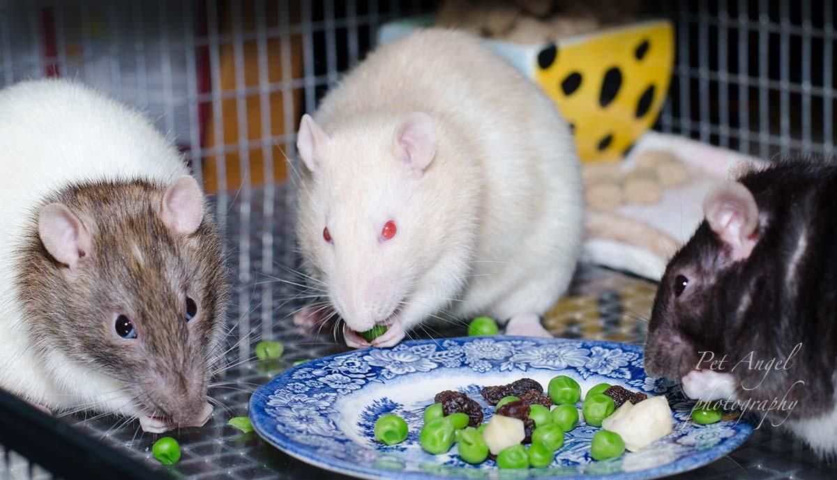 White Pet Rat photograph