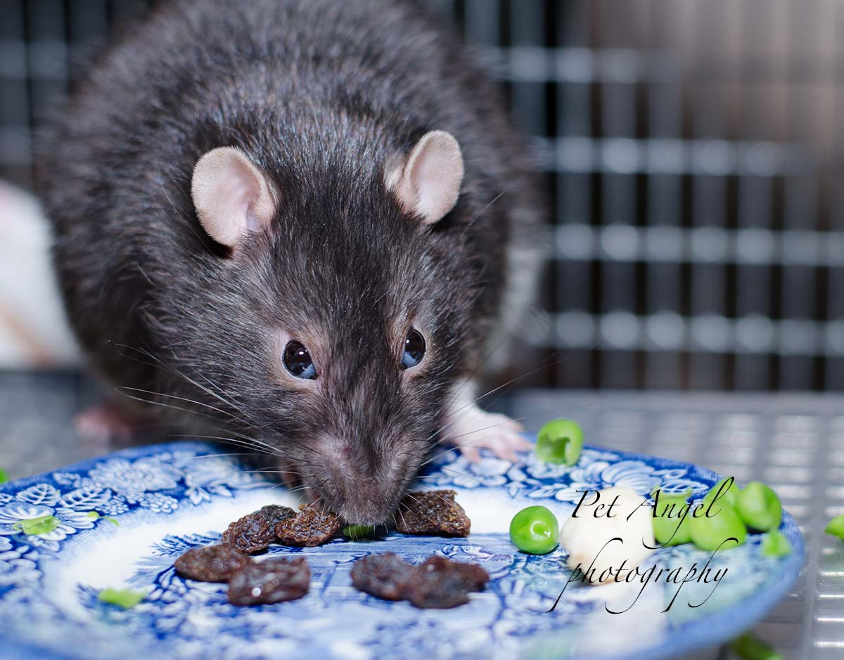 Pet Rat picture