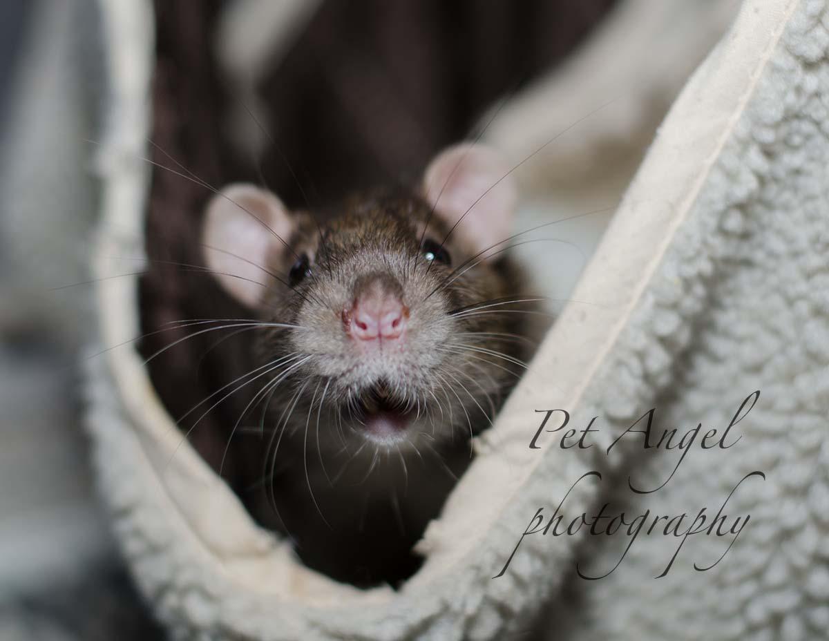 Brown Pet Rat photograph