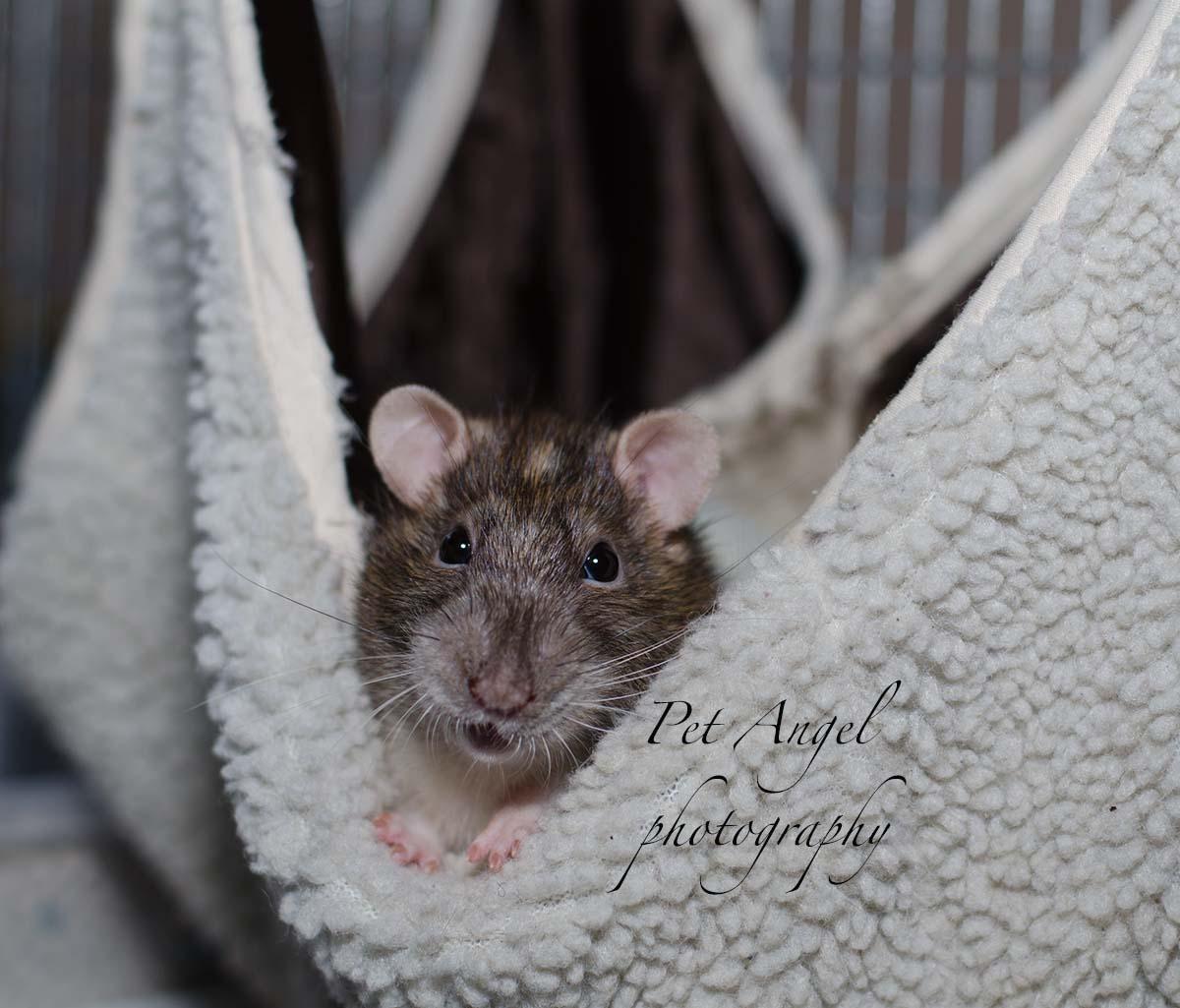 Pet Rat photo portrait