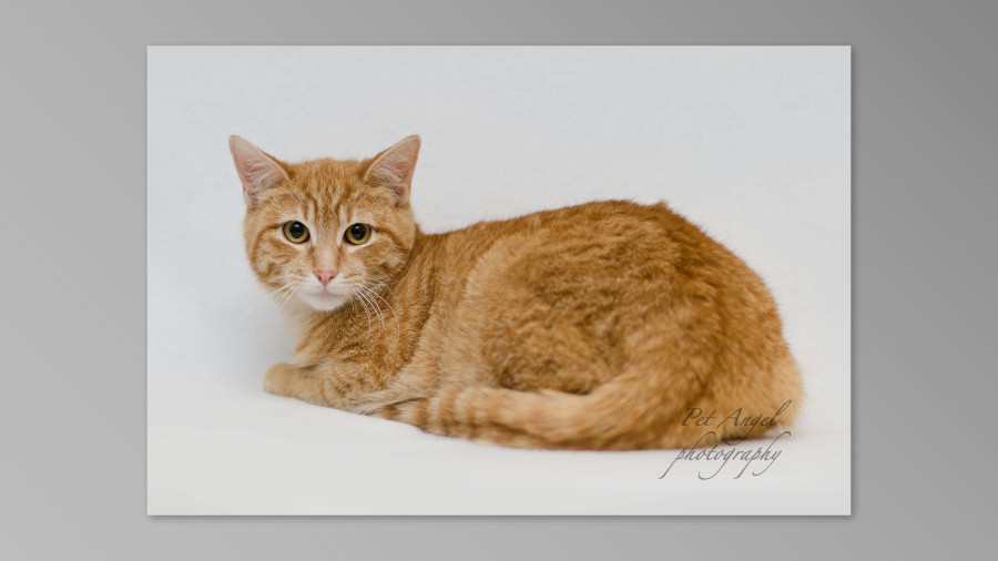 Red Tubby Cat Photographed by Pet Angel Irina