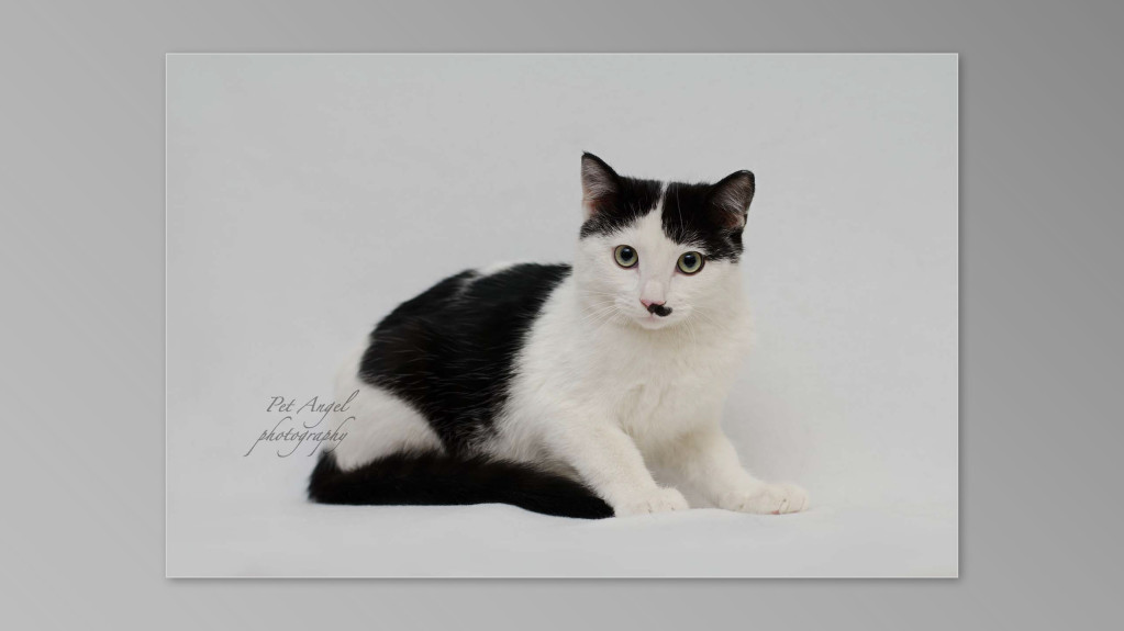 pet angel cat photography