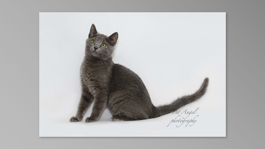 Grey cat photograph