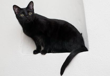 Photograph of a black domestic short hair cat Velvet