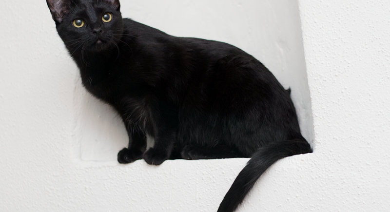 Photograph of a black domestic short hair cat Velvet