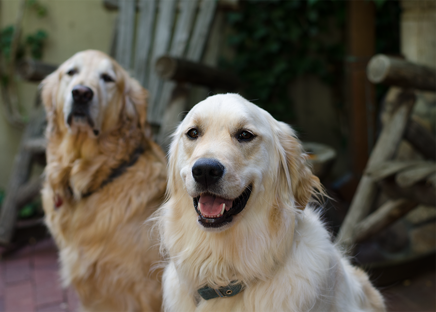 golden retrievers at vacation homes in Santa Fe