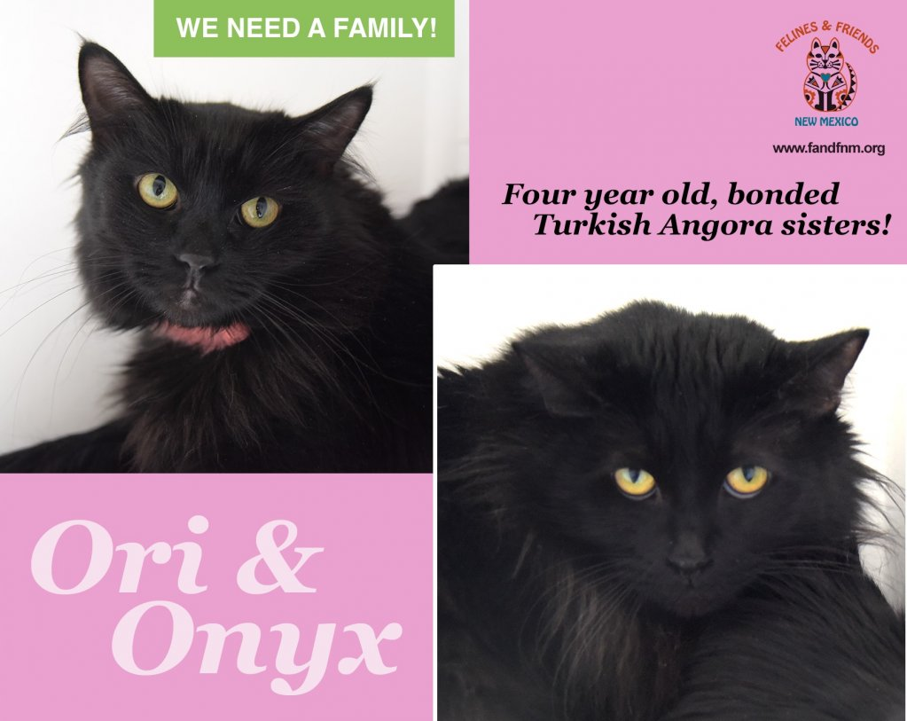 Black Turkish Angora cats for adoption